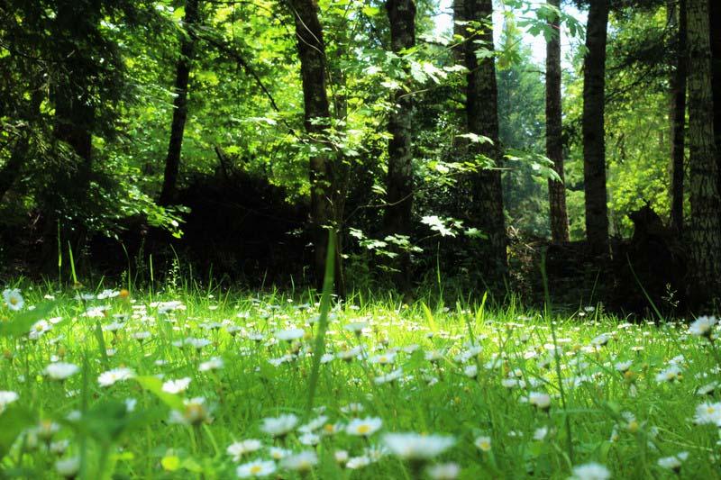 Door de zon beschenen open plek in het bos met madeliefjes