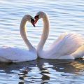 Twee zwanen in het water. Sfeerbeeld bij het blog: Relatie gelukkig samen zwanenliefde van coach en relatietherapeut Lisette Wevers in Amsterdam