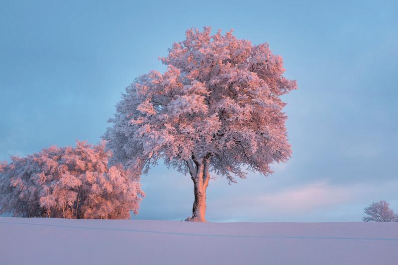Besneeuwde boom in roze licht van zonsondergang