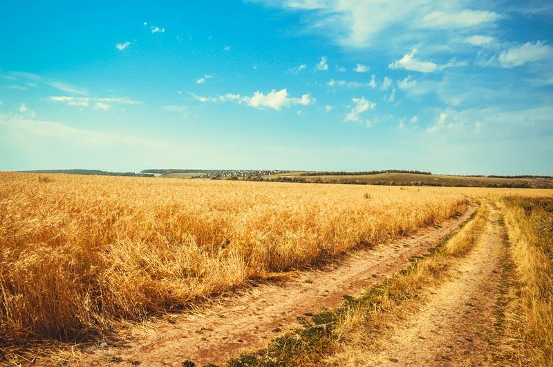 Pad door korenvelden. Sfeerbeeld bij het blog: Veel moeten van jezelf van coach en relatietherapeut Lisette Wevers in Amsterdam